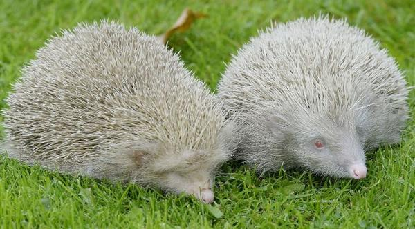 Rare albino hedgehogs rescued in Northumberland http://t.co/Xd6JHAggP9 http://t.co/hbq3iGPMyC