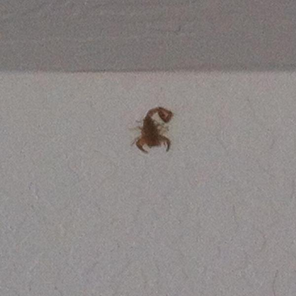 Found this jaunty little scorpion in the garage, hanging out near the ceiling and waiting to drop on my head. http://t.co/v0vG7KnaQ9