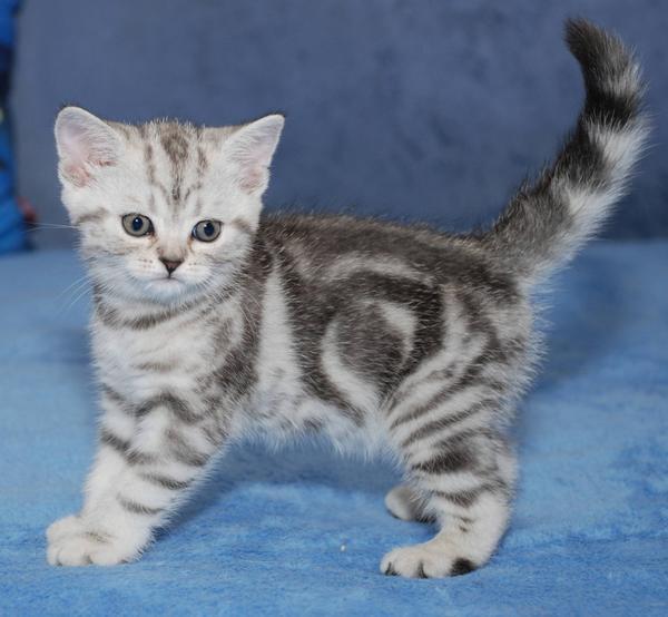 Фото мейн кунов котят трехцветных если
