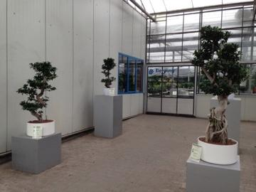 Thomas rotter on twitter ficus bonsai hydrokultur for Bonsai hydrokultur