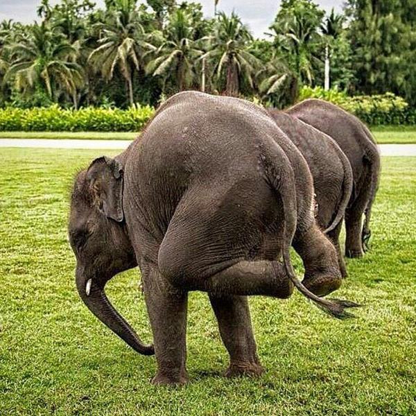Elephants Doing Yoga