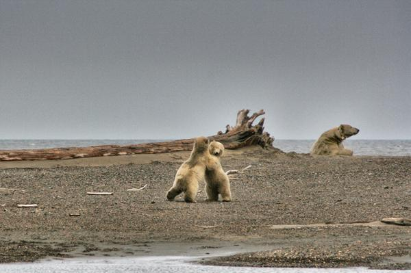 POLAR BEARS on the beach. Playful cubs, watchful mama. http://t.co/UHb6liHFG1 #kaktovik @akonthego http://t.co/lNuN7dKXSP