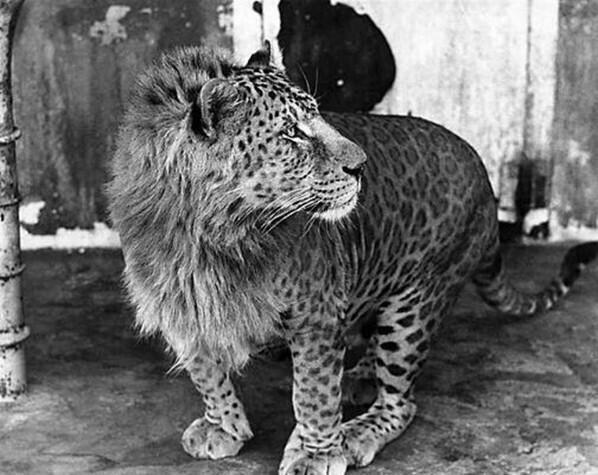 ¿Conocían al leopón? es un híbrido producto del cruce entre un leopardo macho y una leona. http://t.co/dn1jTf57Oh