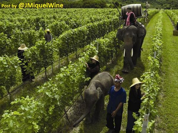 So adorable!!! RT @winewankers: Forget the TRACTOR, use an #ELEPHANT in Vineyard  #THAILAND #wine http://t.co/6Vj151KHsg RT @JMiquelWine
