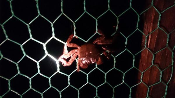 台風の影響か、蟹が金網にとまっとった(゚o゚; http://t.co/0jcgtBO2RI