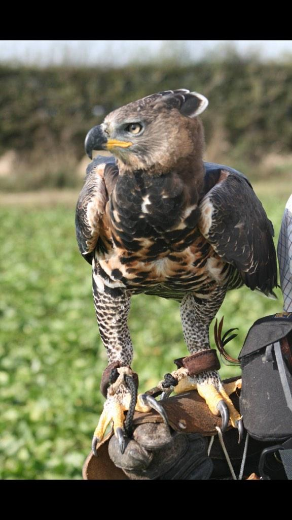 African Crowned Eagle Stock Photos & African Crowned Eagle ...  |African Crowned Eagle Falconry