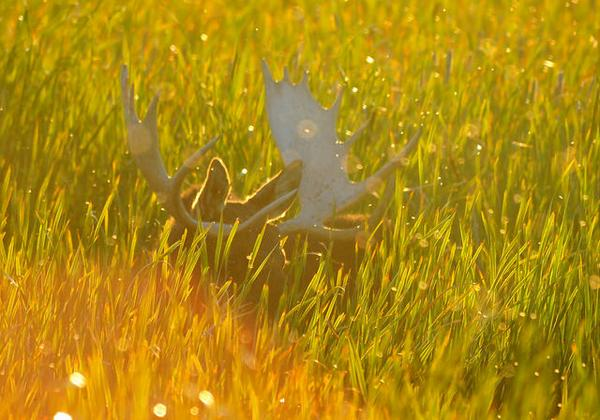 Moose in the sunlight - Back lit bull moose on the Seedskadee National Wildlife Refuge, Wyooming.  Photo: #USFWS