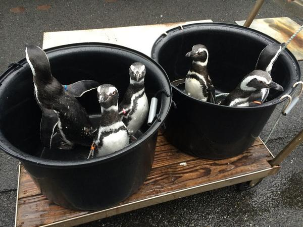 避難避難!風が強くなってきたのでペンギンたちは屋内で台風が過ぎるのを待ちます。タルに入った姿が可愛かったのでパチリ✨ pic.twitter.com/15WlGKJAzs
