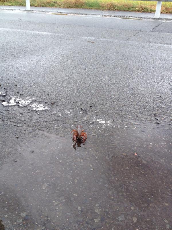 ザリガニが道路渡ってきた……… http://t.co/TTuurrpkxd