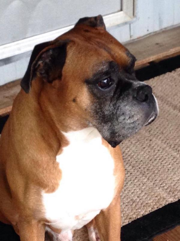 Is My Boxer Pregnant 65
