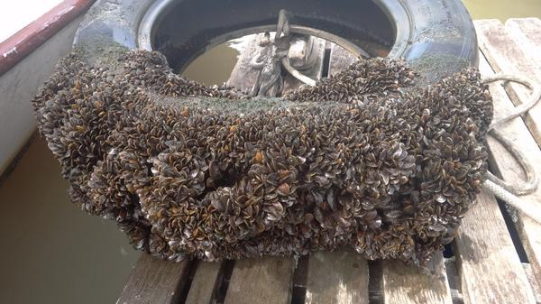 Image result for golden mussels amazon