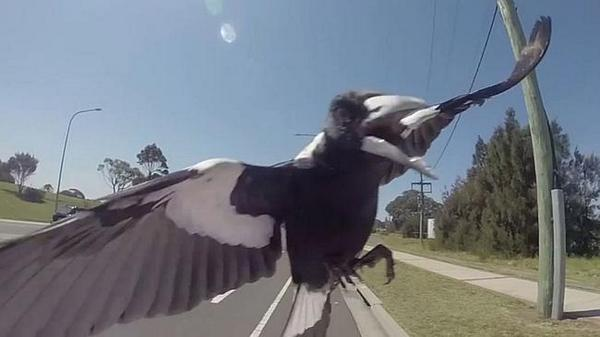 Cyclist with a Go-Pro attacked by a magpie. In slow motion. This video is gold: http://t.co/WnpctF5U3u http://t.co/VvZAd9S08d