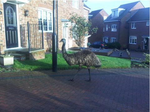 Emu Calendar.Itv News Calendar On Twitter Rogue Emu Roaming Around Beighton