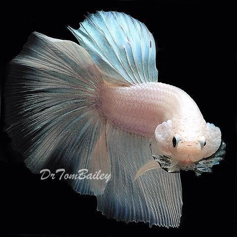 Aquariumfish Net On Twitter Featured Items 10 11 Ghost Knife White Dragon Crown Betta Black White Dragon Betta Fish Aquarium Fresh Http T Co Kjibyfklfb