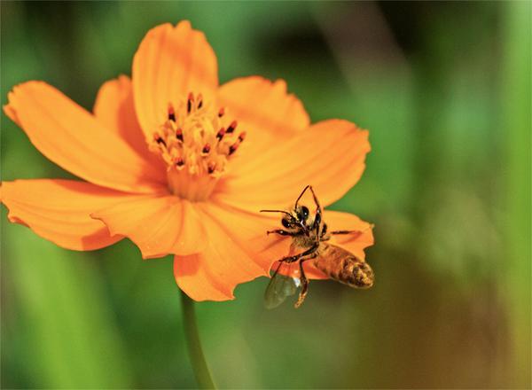 ミツバチをよく撮られる方は彼女らのドジっ娘っぷりはご存じだと思うが、今日もそれを証明するよい瞬間が撮れた。花上で脚を滑らせて転げ落ちるところ。 http://t.co/Rqmq53bblk