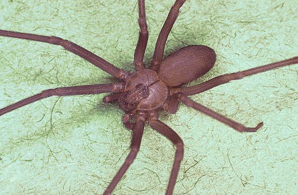 brown recluse bite day 1 - 590×386