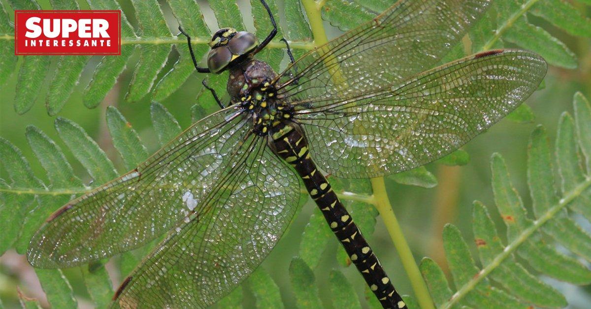Fêmeas (de libélula) fingem morte para evitar assédio de machos: https://t.co/GMfFRnwp0m