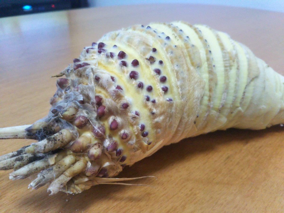 ラン、ランララ、ランランラン ラン、ランラララ〜♪ たけのこの皮を剥いだら、ただの王蟲だったんですが これからコイツを八つ裂きにしたら大地の怒りを買いますかね?