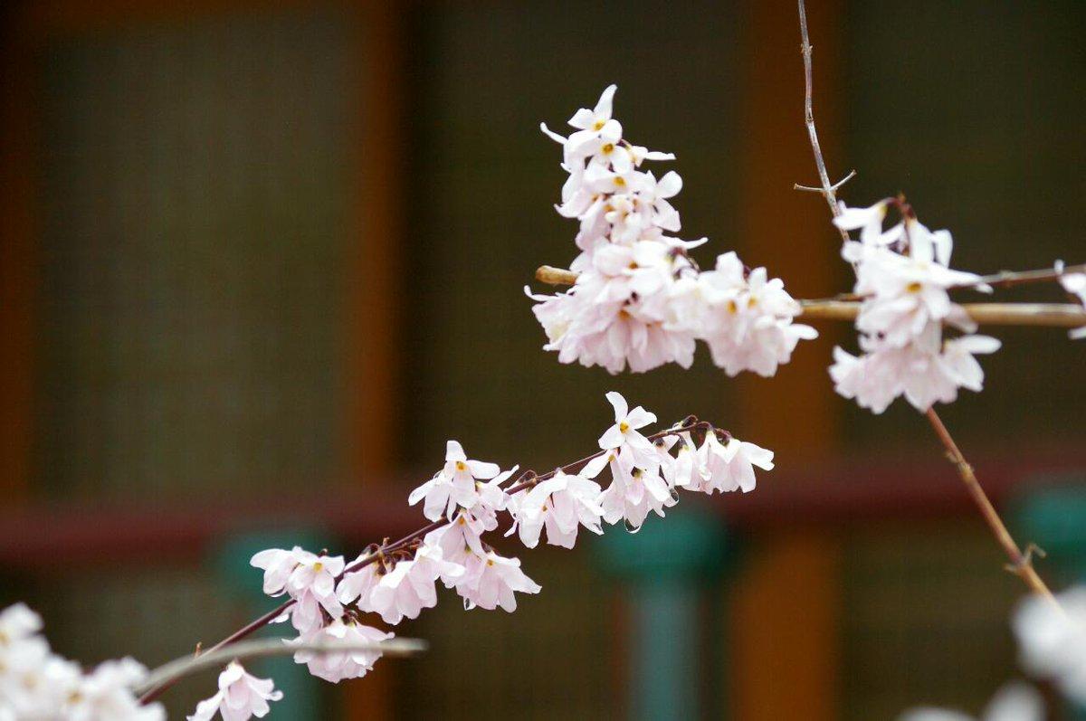 Gardenopus On Twitter Lovely Abeliophyllum Distichum Roseum