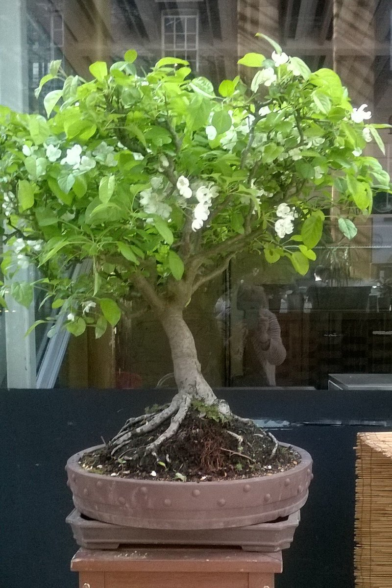 Bonsai Tips For April Repot Pines