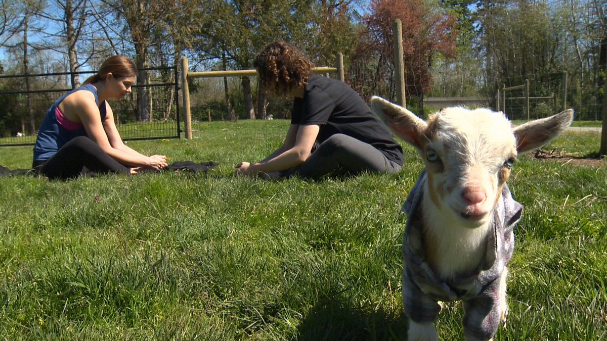 Ctv News Vi On Twitter In Pictures North Saanich Farm Offering Yoga Classes With Nigerian Dwarf Goats Https T Co Vcz3nyg22m