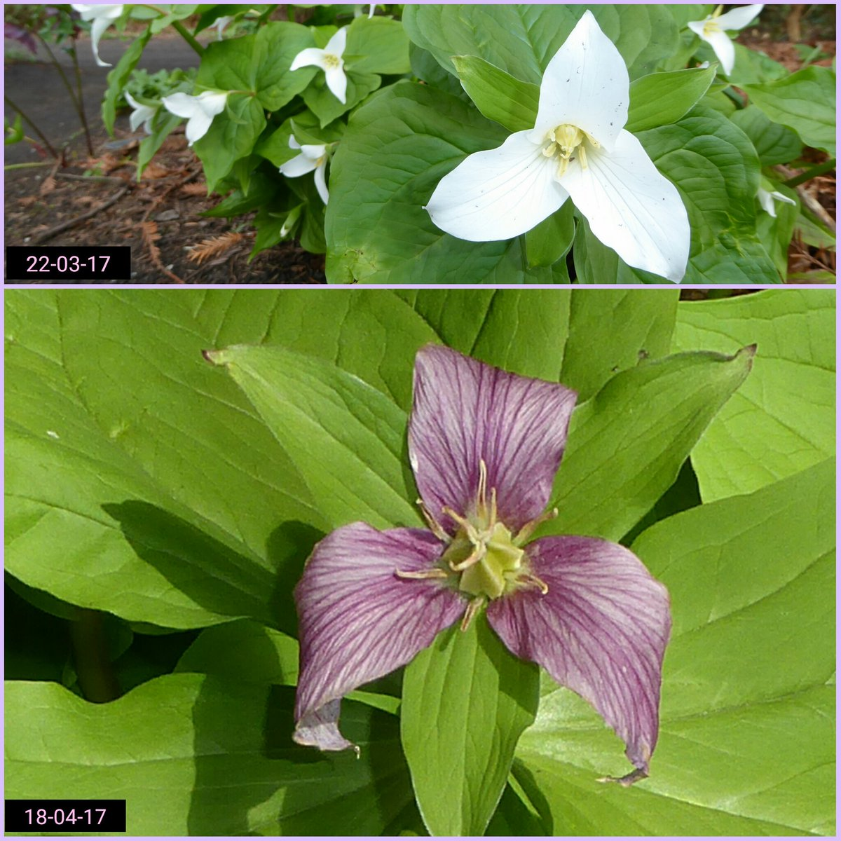 Glimpses Of A Garden On Twitter Trillium Ovatum In The Woodland