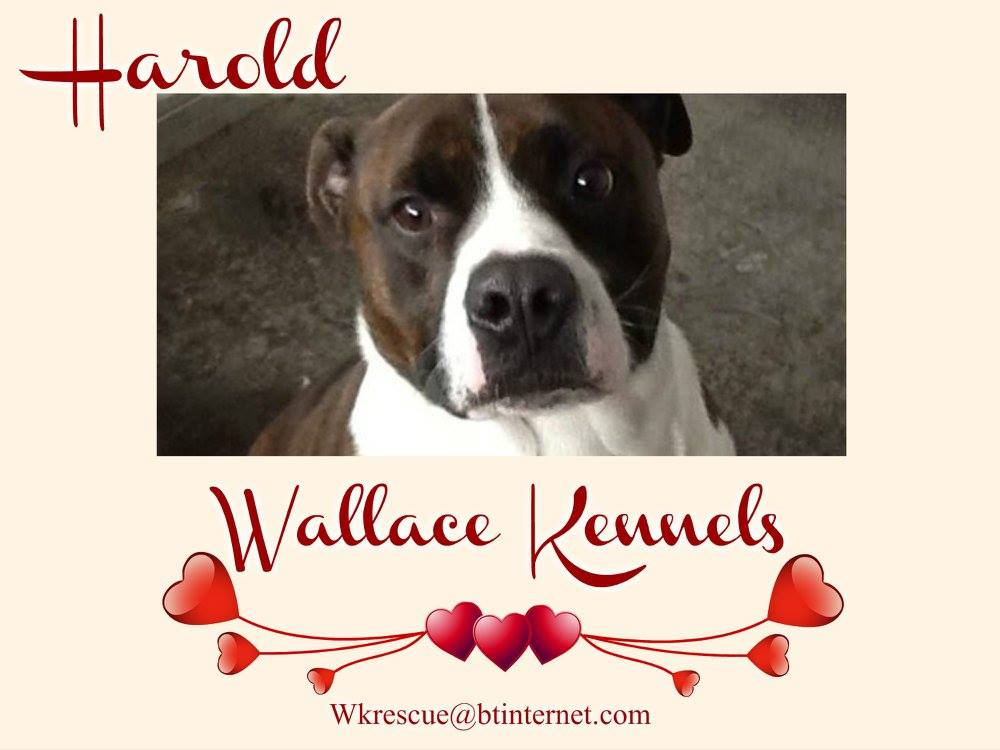 HAROLD is also looking for his furever home. More details from @WallaceKennels #adopt #furever #home #staffysunday<br>http://pic.twitter.com/N13xsptK3a