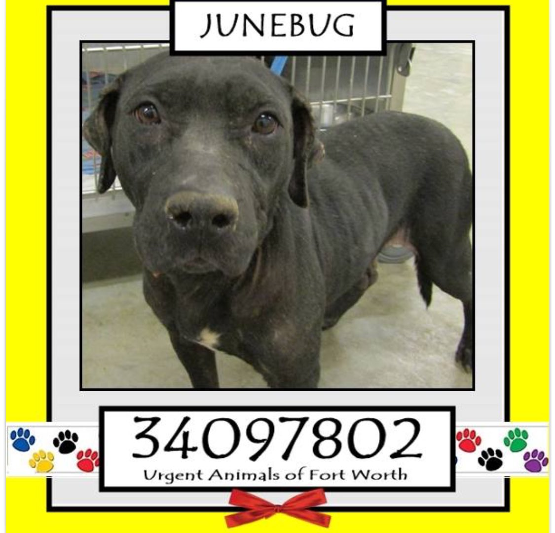 JUNEBUG #FortWorth #TX 2BANYTIMESweet girl HW+ needs a #Hero 2SAVE herPLZ #ADOPT #Foster #Pledge for #Rescue  https://www. facebook.com/fwaccurgents/p osts/1480608132011276 &nbsp; … <br>http://pic.twitter.com/gQY2wOXB2J
