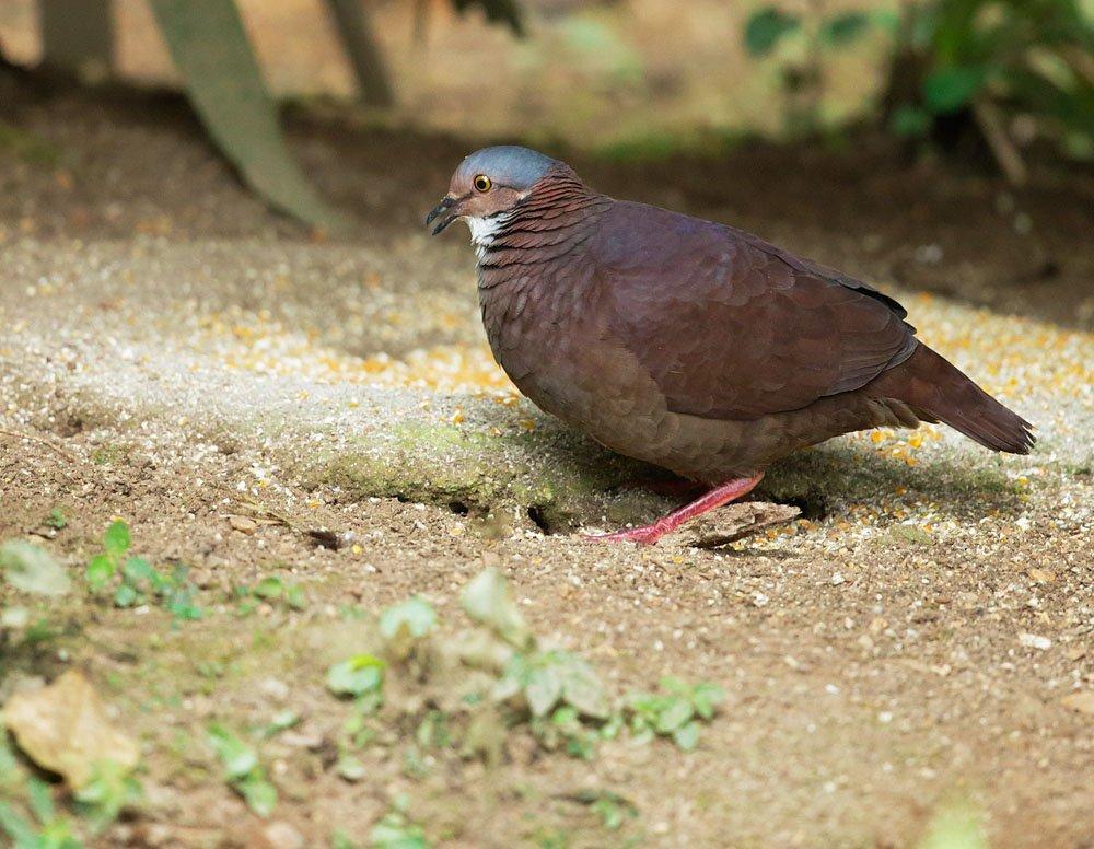 White-throated Quail-Dove (Geotrygon frenata); a forest floor bird more often heard than seen,  San Jorge Ecolodge #Ecuador    Tom Grey. <br>http://pic.twitter.com/KRH2DbPF9F