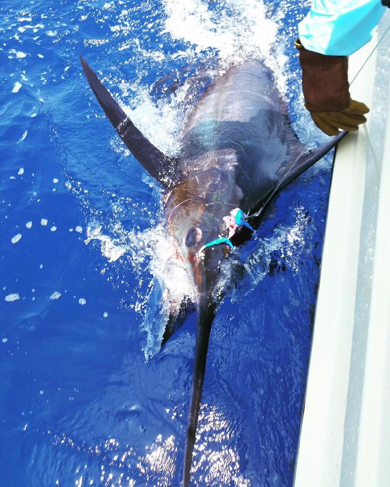 Kona, HI - El Jobean released a Blue Marlin.