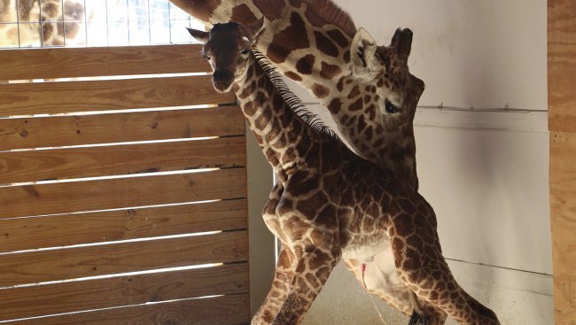 Zoo teases permanent camera for April the giraffe and baby. #WakeUpWith10  http:// news10.com/2017/04/24/zoo -teases-permanent-camera-for-april-the-giraffe-and-baby/?cid=twitter_WTEN &nbsp; … <br>http://pic.twitter.com/Va7uoSKaPA