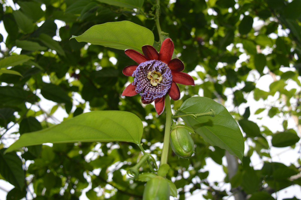 Passiflora alata filling the Lowland Tropics glasshouse with their scent