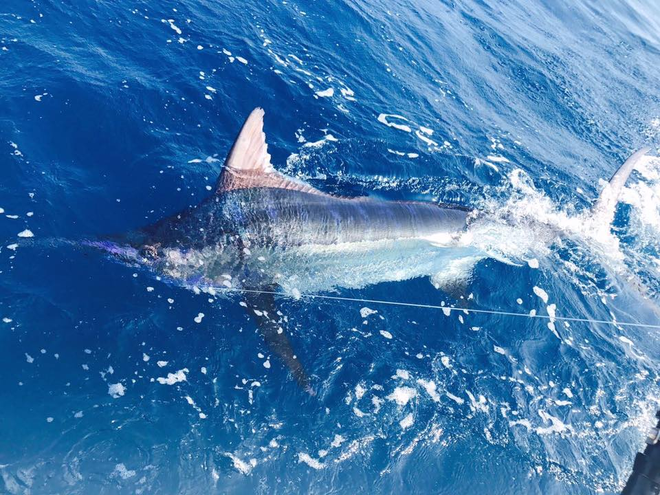 Flamingo, CR - Wetass II released a Blue Marlin and 3 Sailfish.