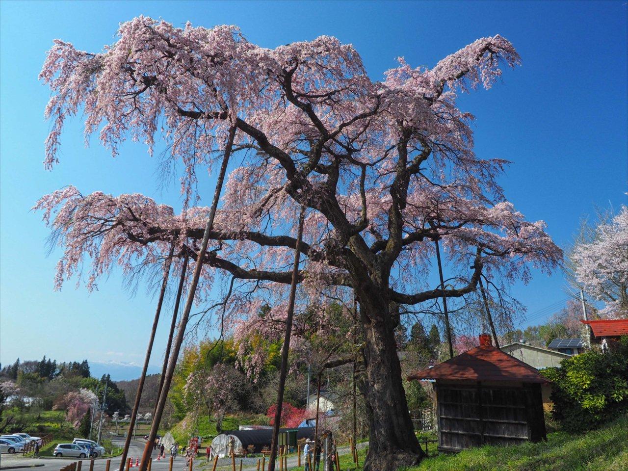 郡山・中田の桜