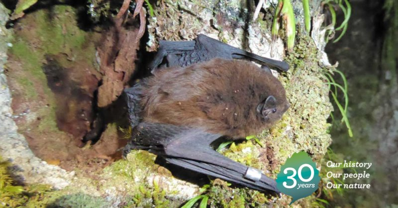 2011: A colony of rare long-tailed bats is discovered along the Kepler Track: https://t.co/pnFQZlW1d3 #DOCturns30 https://t.co/REWZPZoD35