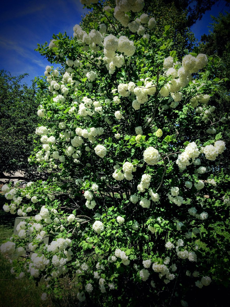 My gorgeous snowball bush exploded in loveliness today !! Booo for #allergies &amp; yay for #bpd stuff  @KevinCossey3<br>http://pic.twitter.com/ofQxkGttm2