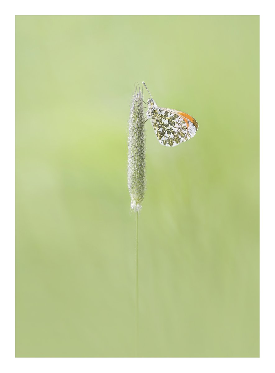 Next up – he's turning into a macro machine – it's @njburnell and another orange tip butterfly #WexMondays https://t.co/1B4gIjH5Qt