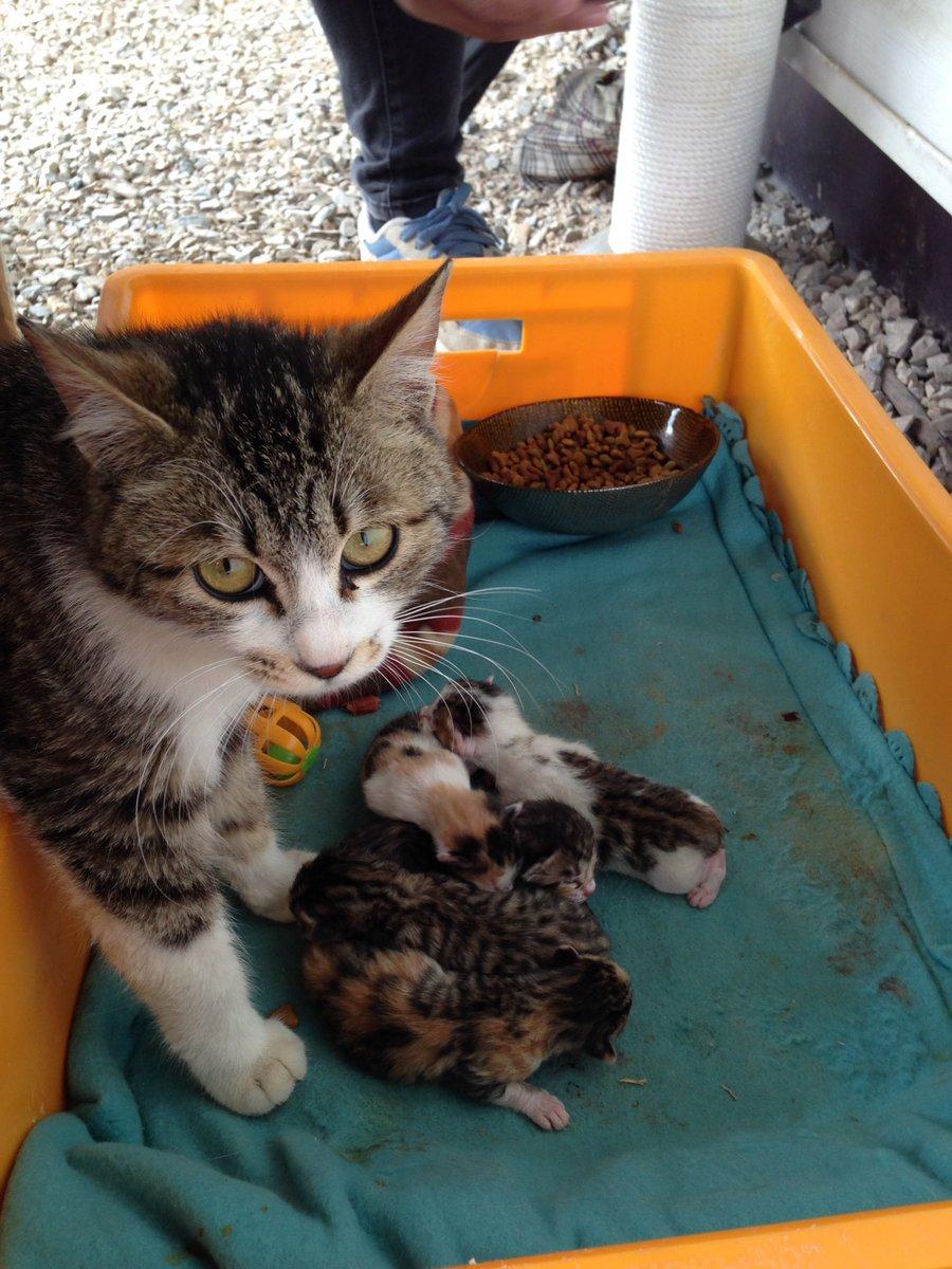 연구소 마당에선 두 마리의 냥이에게 밥을 주곤했다. 그중 태비 무늬를 우리는 샬롯이라 불렀다. 새끼였던 샬롯은 채 성묘가 되기도 전에 임신을 했는데 지난주 금요일 연구소 마당에 새끼를 낳았다. https://t.co/h9DalAktXX