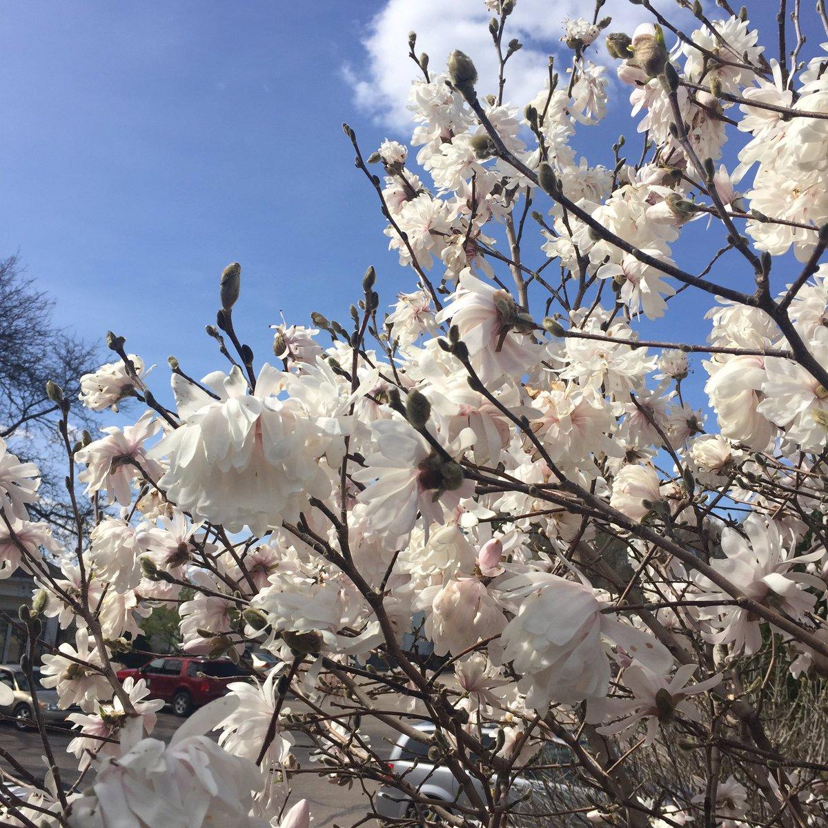 Ryan Mcenaney On Twitter Springtime With Centennial Blush Magnolia