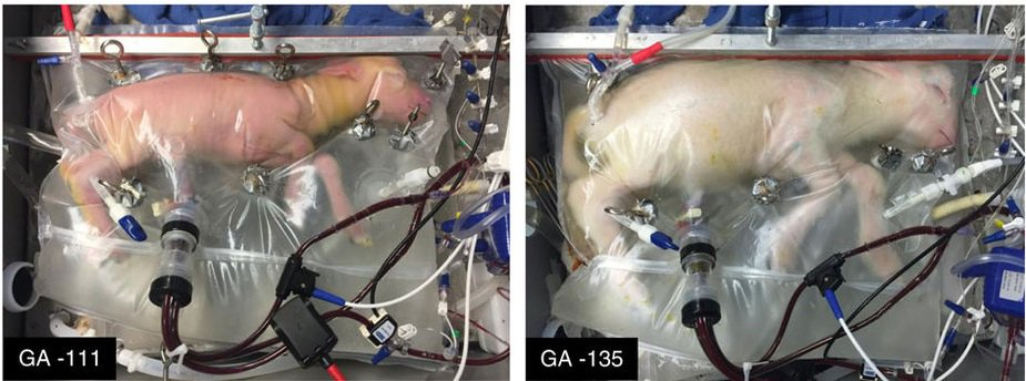 Amazing images of a fetal lamb after growing for 4 weeks in an artificial womb https://t.co/aI0qTpNdKi https://t.co/YkI6mHkAuY
