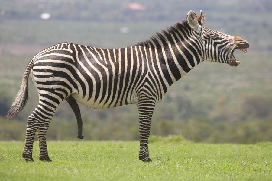 Zebra penis size. Zebra Hung Like A Donkey Sexually