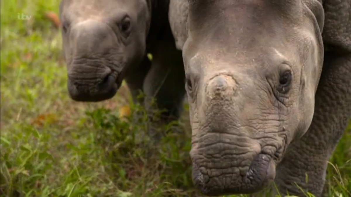 CUTE ALERT!! Who's loving the baby rhinos on tonight's #poganimals? 👍👍...
