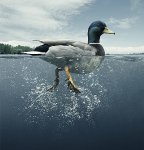 Is the Duck Sinking?  https:// energyathaas.wordpress.com/2017/04/24/is- the-duck-sinking/ &nbsp; …  &quot;operating an electricity system with a lot of renewables isnt easy&quot; #nuclear #uranium #thorium<br>http://pic.twitter.com/GWdbMsLylw
