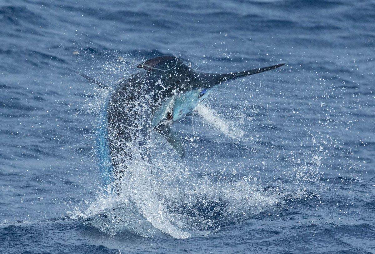 Cape Verdes - Capt. Stuart Simpson on Nha Cretcheu went 2-3 on Blue Marlin.