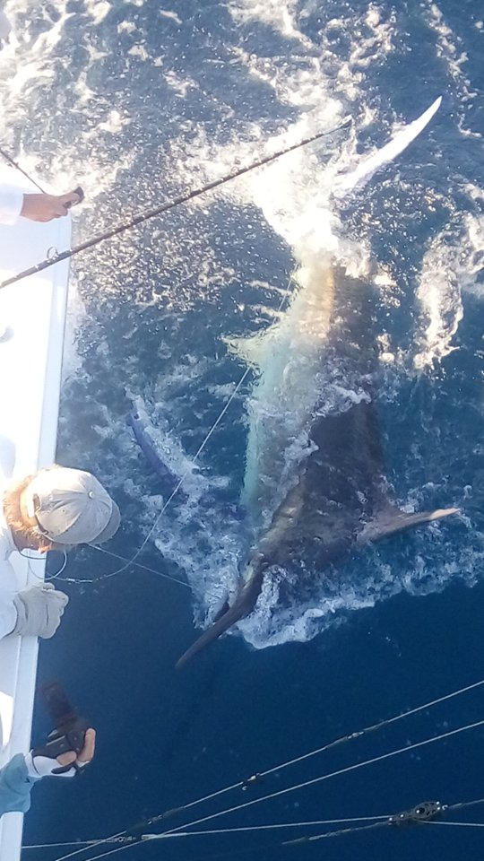 Los Suenos, CR - Brown Eyed Girl released a Grand Slam with a Black Marlin, Blue Marlin and Sailfish.