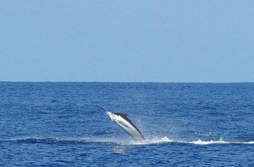 Cape Verdes - Mystic Blue released a Blue Marlin (400).