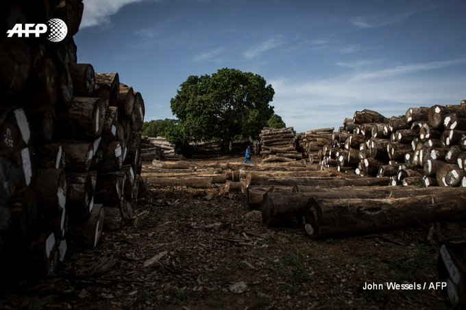 Forests cover more than half of Mozambique's landmass but China's appetite for rare woods is stripping them  https://t.co/oOV1jkrdAn