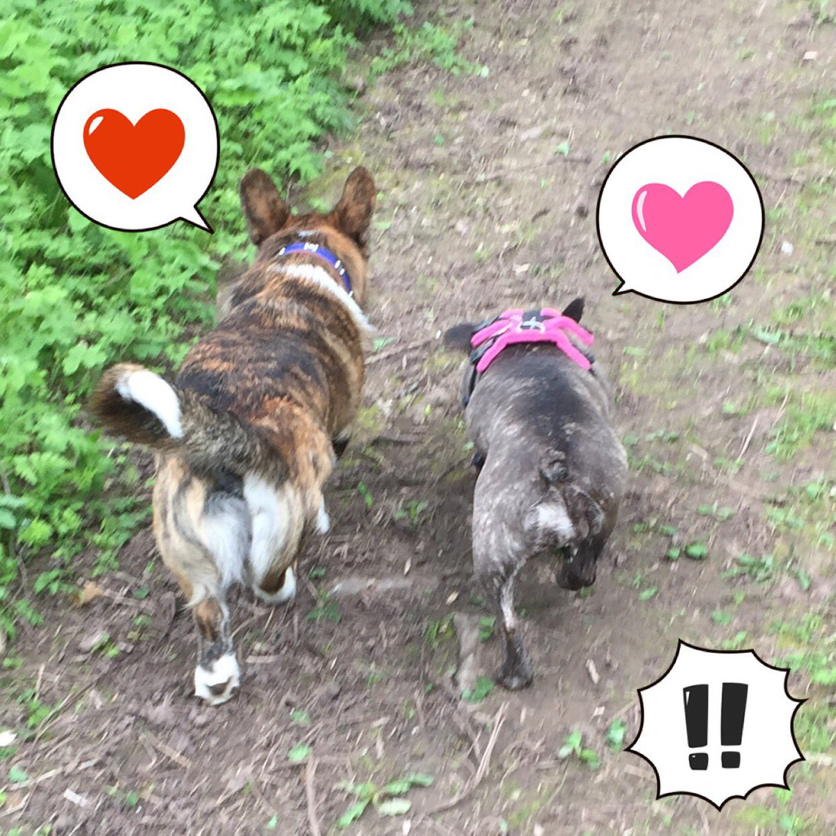 #Leia made a new mate/quickly made her boyfriend! Meet Charlie the #corgi who belongs to my pal Clare #princessleia #frenchie #frenchbulldog<br>http://pic.twitter.com/Ka6NsqD3po