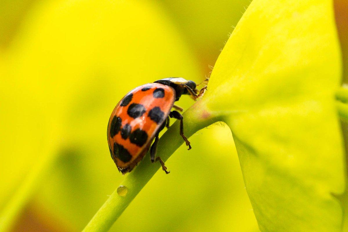 RT @GrahamDash Harlequin ladybird? in the Walled Garden, Loseley House @BBCSpringwatch @UKLadybirds @insectweek @Buzz_dont_tweet