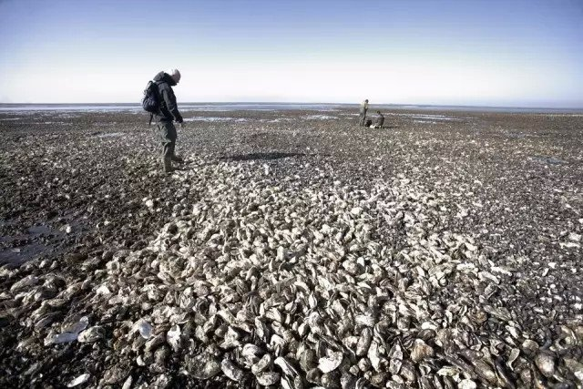 Chinese Offer to Eat Denmark's Oyster Problem to Extinction